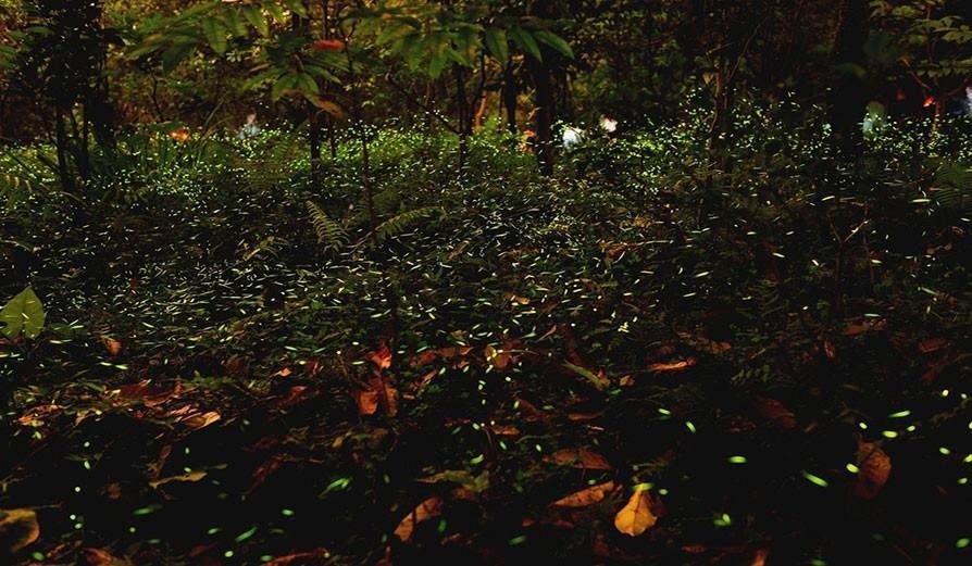 Fireflies-Festival-Bhandardara-Akole
